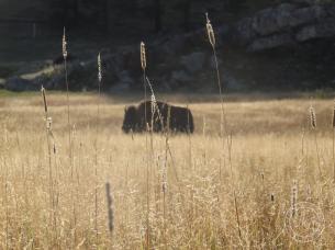 buffalo in grassy distance
