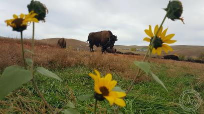 buffalo with sunflower