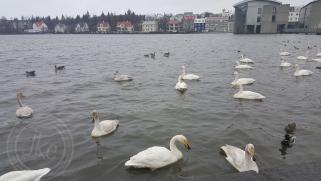 Icelandic swans